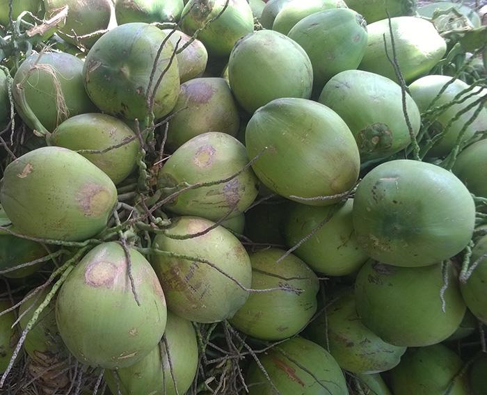 Cung Cấp Dừa Khô, Dừa Tươi